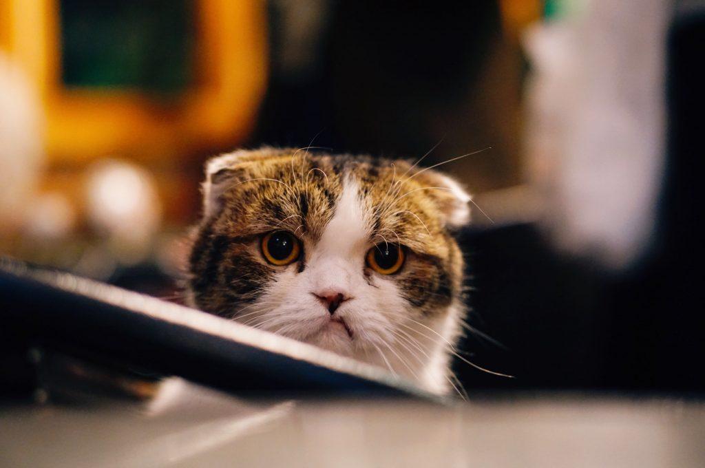 chat en colère qui baisse les oreilles